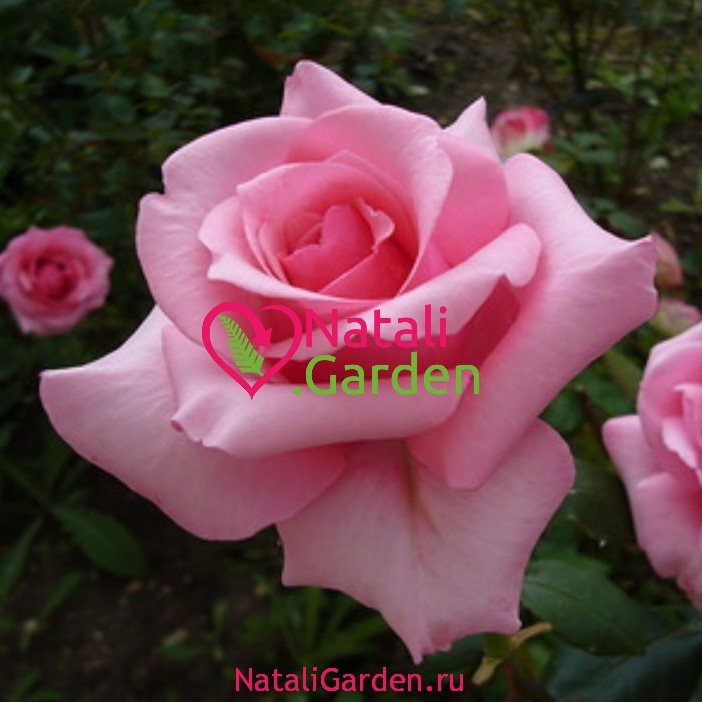 Саженцы роз Carina (Карина)