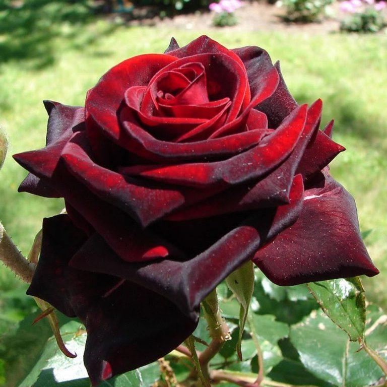 Саженцы роз Black Magic (Блек Мейджик, Чёрная Магия)