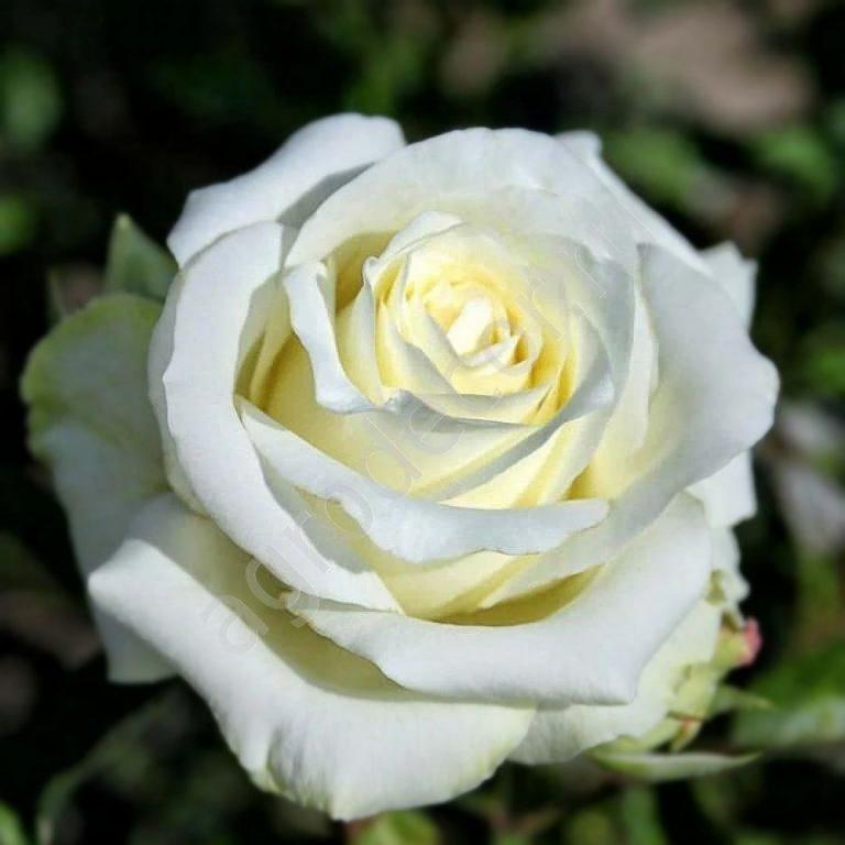 Саженцы роз Anastasia (Анастасия)