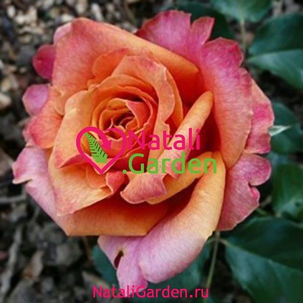 Саженцы роз Cherry Brandy (Черри Бренди)