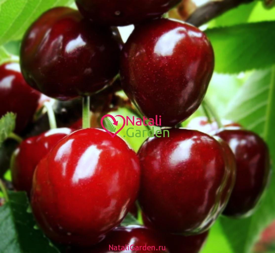 Саженцы вишни Чудо-вишня