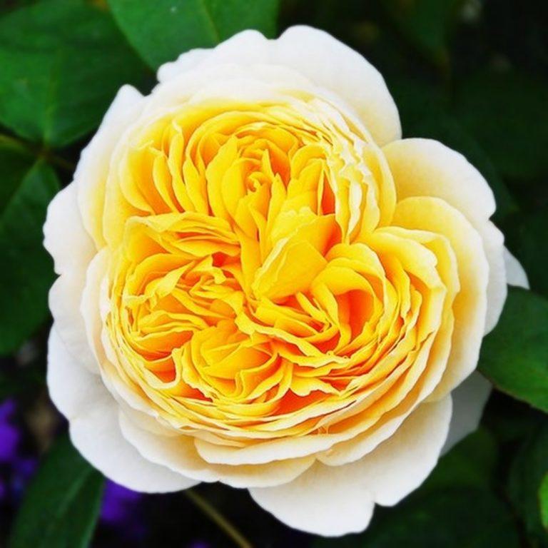 Саженцы роз Шарлотта (Charlotte)