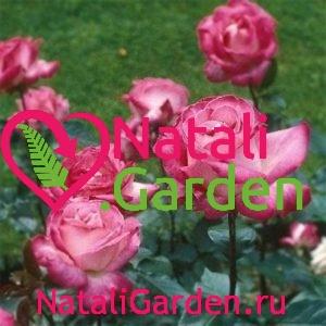 Саженцы чайно-гибридной розы Розгожар (RoseGaujard)