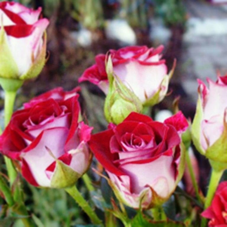 Саженцы розы спрей Руби Стар (RubyStar)
