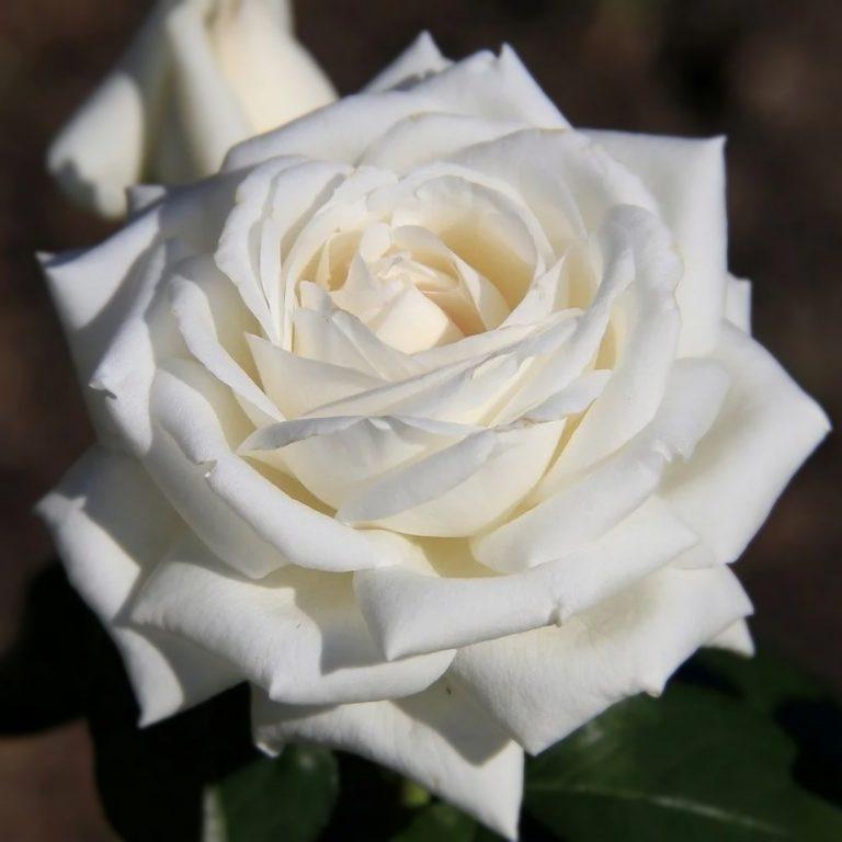 Саженцы чайно-гибридной розы Боинг (Boeing)