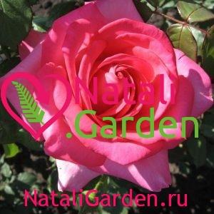 Роза чайно-гибридная Аква (Aqua)