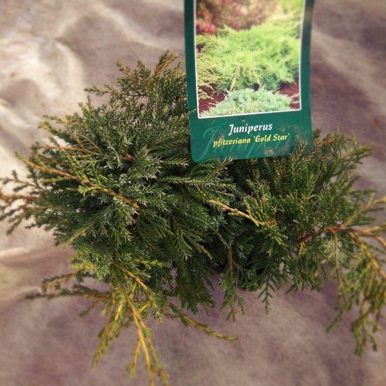 Можжевельник пфитцериана Голд Стар (Juniperus pfitzeriana Gold Star)