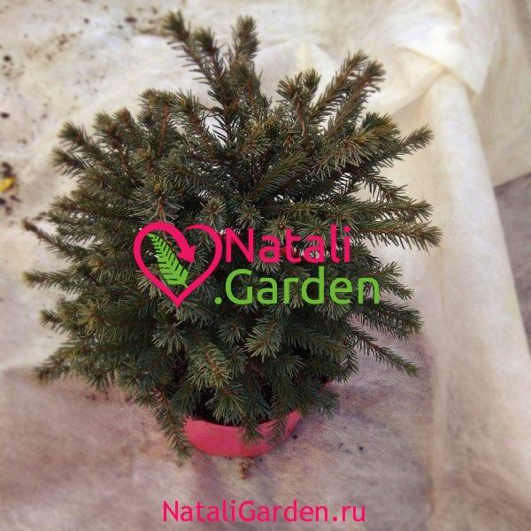 Ель Альберта Глоб мини (Picea glauca Alberta Globe)