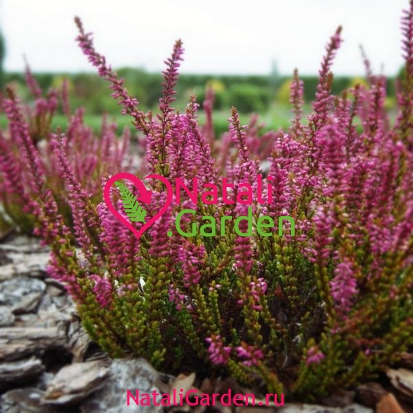 Вереск (Calluna vulgaris)