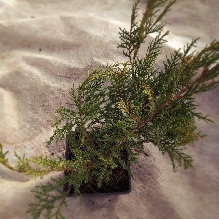 Можжевельник средний Пфитцериана Ауреа (Juniperus x-media Pfitzeriana Aurea)