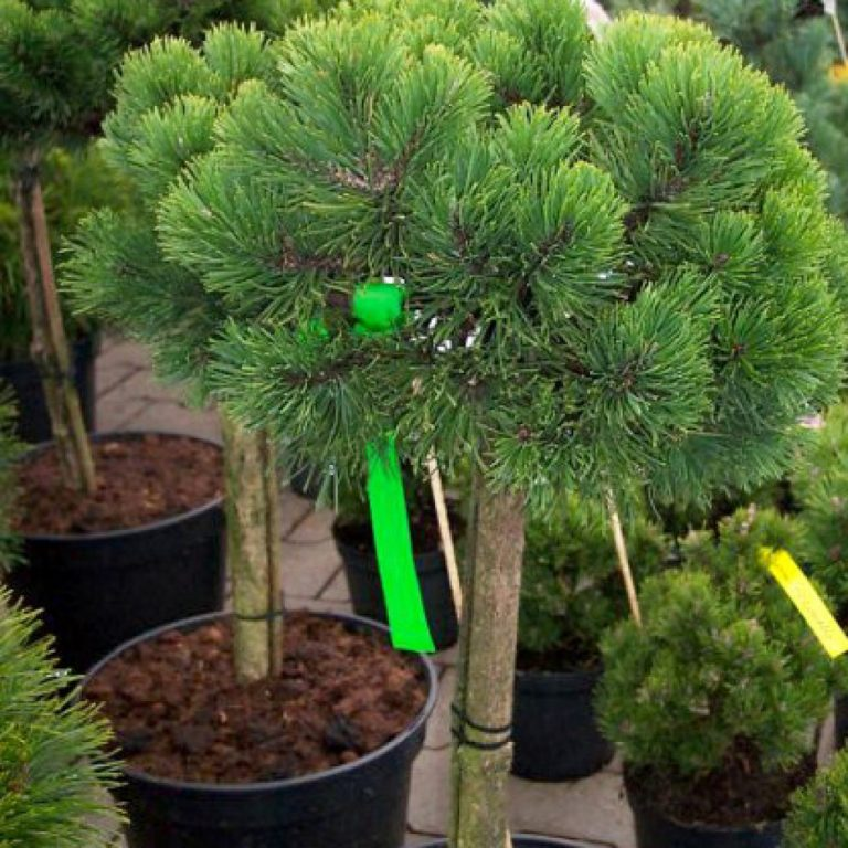 Сосна горная Мопс (Pinus mugo Mops)
