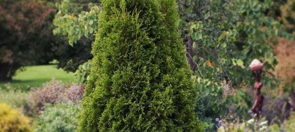 Посадка туи Смарагд. Smaragd (Thuja occidentalis Smaragd)