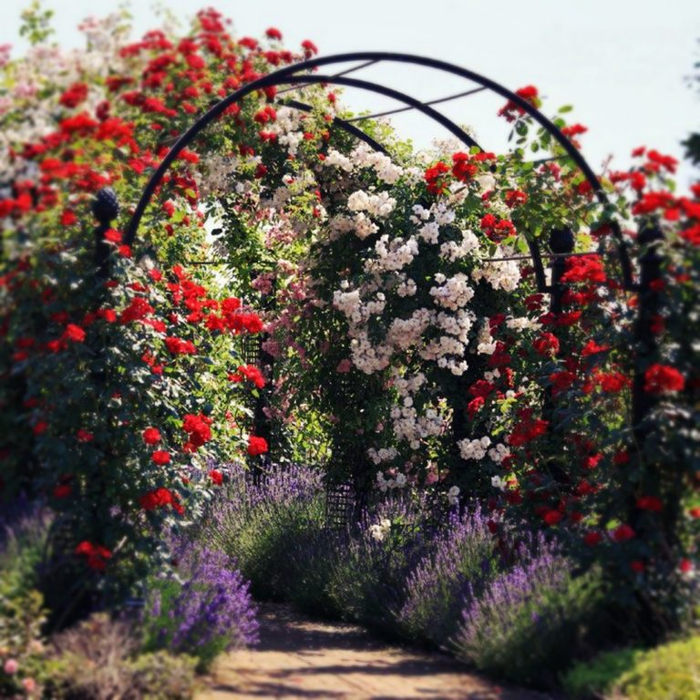 Уход за плетистыми розами весной