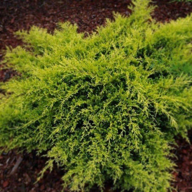 Можжевельник пфитцериана Олд Голд (Juniperus pfitzeriana Old Gold)