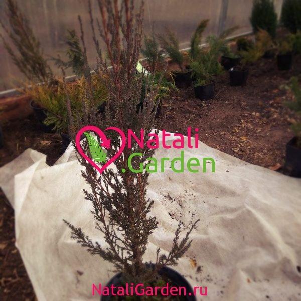 Можжевельник скальный Блю Арроу (Juniperus scopulorum Blue Arrow)