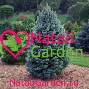 Ель колючая голубая (сизая) (Picea pungens glauca)
