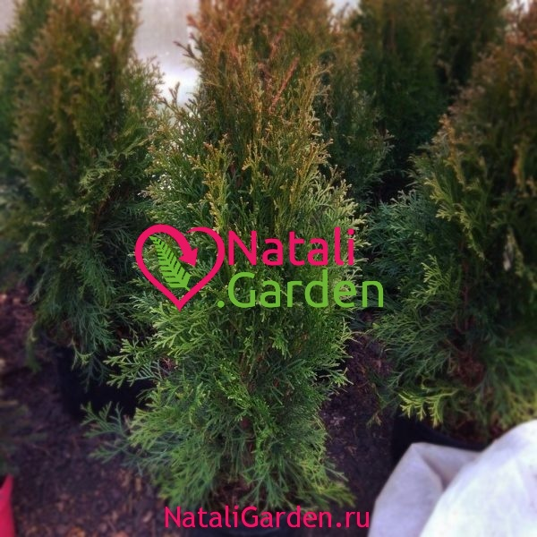 Туя западная Smaragd (Thuja occidentalis Smaragd)