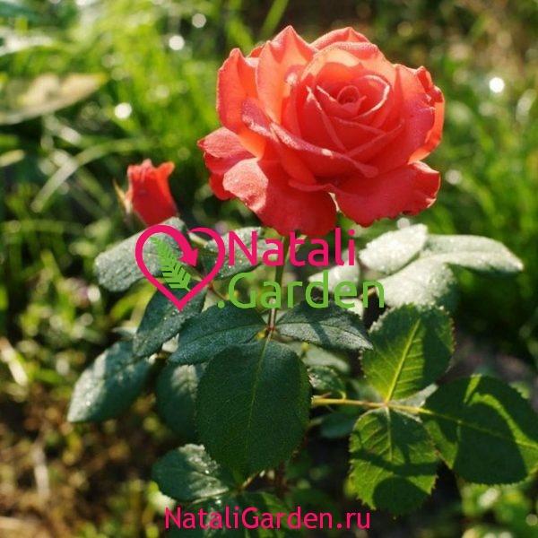 Роза чайно-гибридная Перл