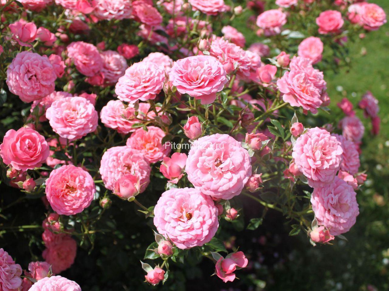 Саженцы миниатюрной розы Amulett (Амулет)