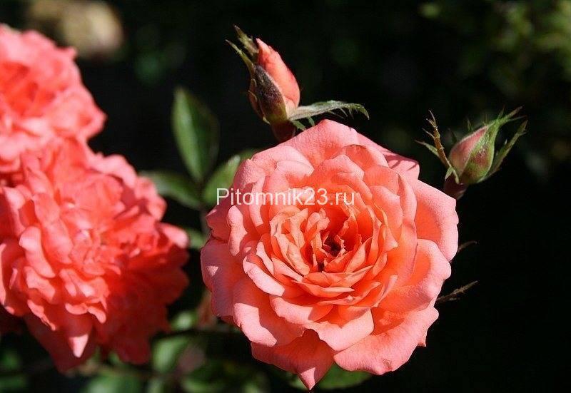 Саженцы миниатюрной розы Angela Rippon (Анжела Риппон)
