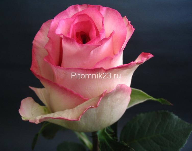 Саженцы чайно-гибридной розы Белла Вита (BellaVita)