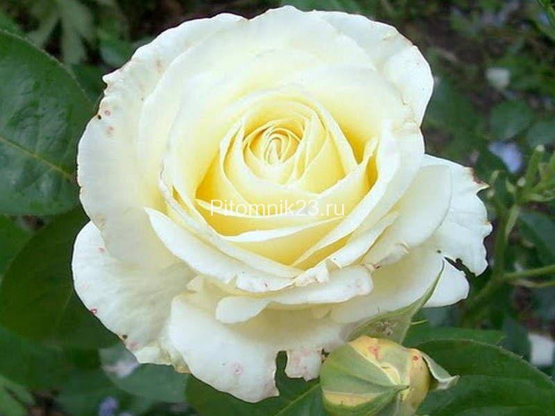 Саженцы чайно-гибридной розы Шопен (Chopin)