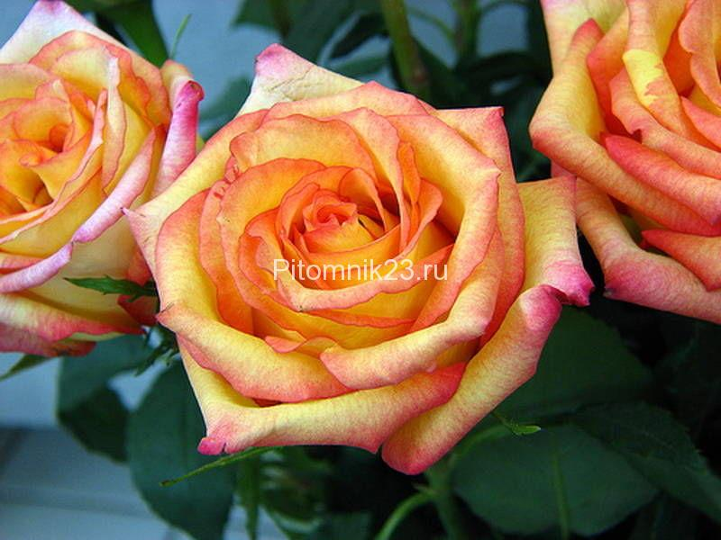 Саженцы чайно-гибридной розы Конфетти (Confetti)