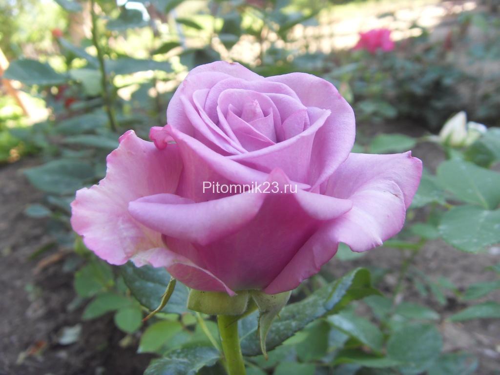 Саженцы чайно-гибридной розы Холодная Вода (Cool Water)