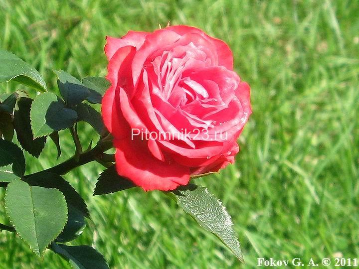 Саженцы миниатюрной розы Hi - Ho (Хи - Хо)