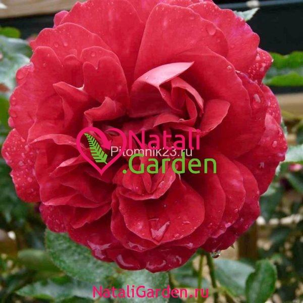 Саженцы английской парковой розы Мадригал