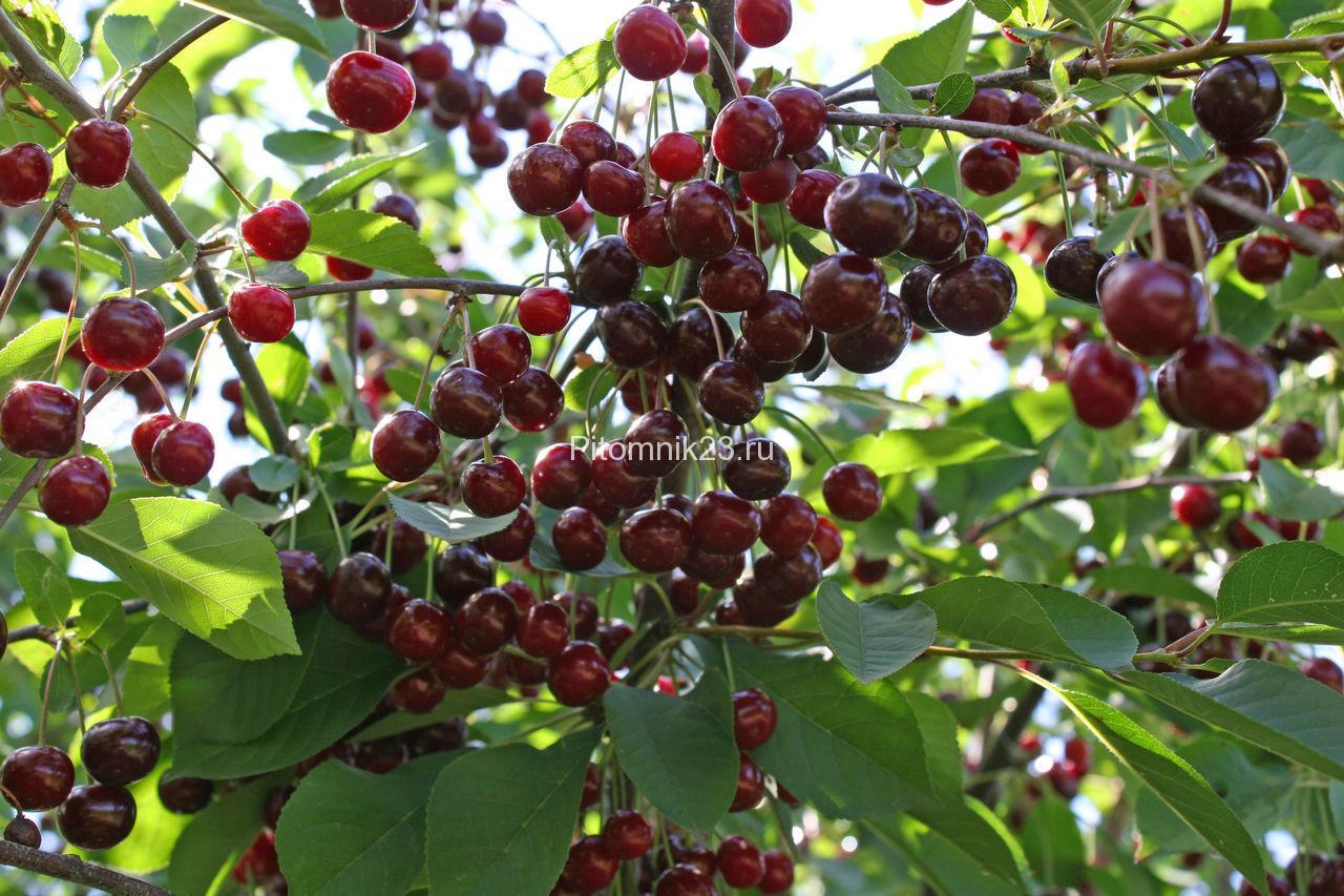 Саженцы вишни Новелла