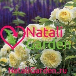 Саженцы английской парковой розы Пилигрим