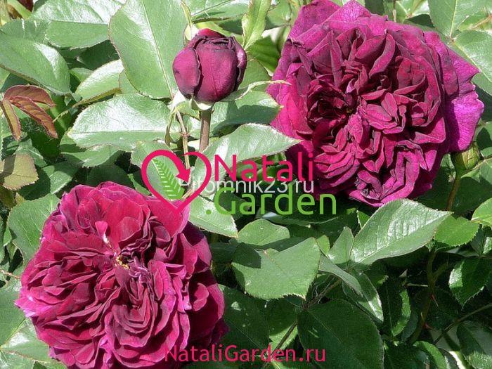 Саженцы английской парковой розы Принц