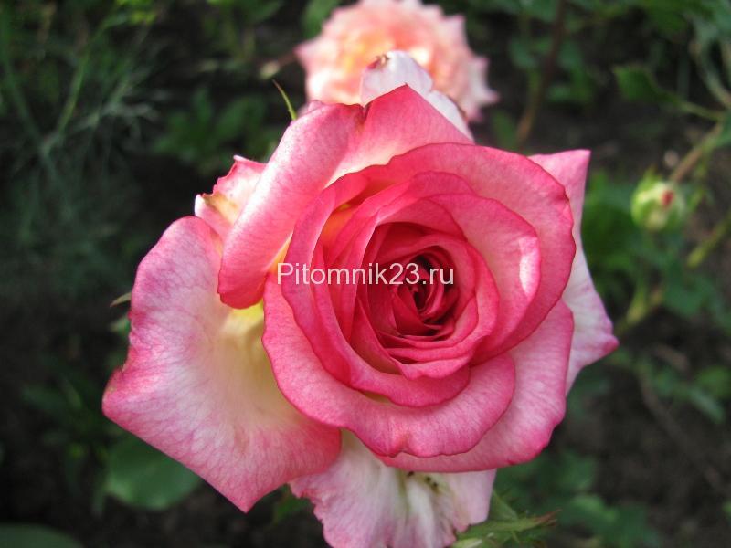 Саженцы чайно-гибридной розы Куин Амазон (Queen Amazone)