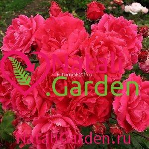 Саженцы английской парковой розы Александр Маккензи