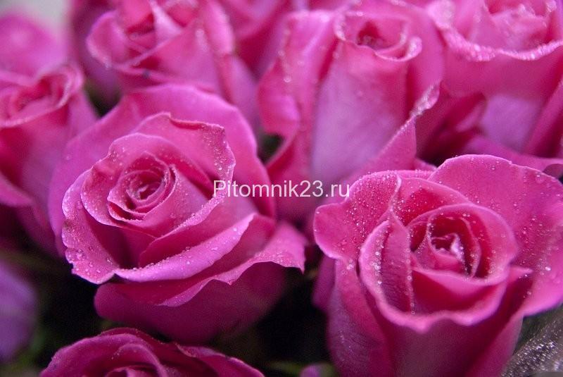 Саженцы чайно-гибридной розы Топаз (Topaz)