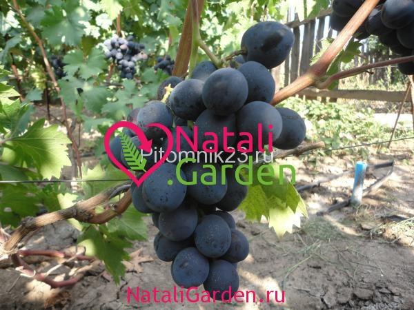 Саженцы винограда Руслан