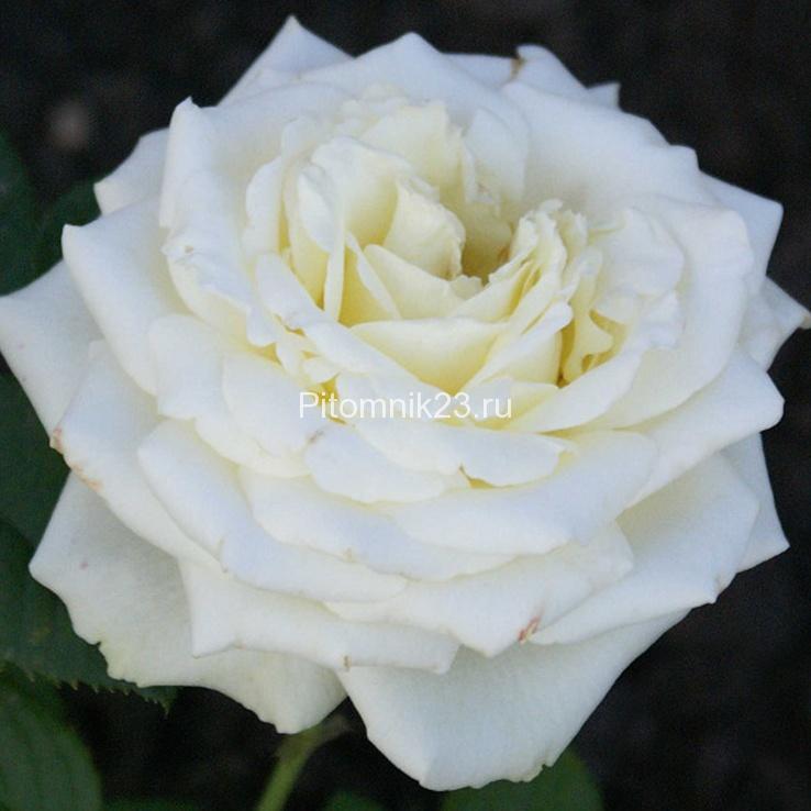 Саженцы чайно-гибридной розы Верджиния (Virginia)