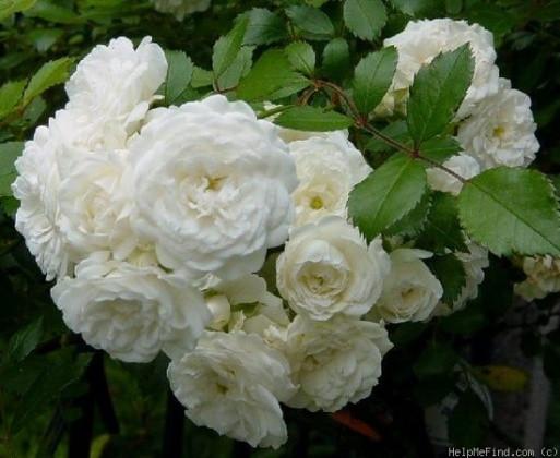 Саженцы роз Alba meidiland (альба мейдилан)