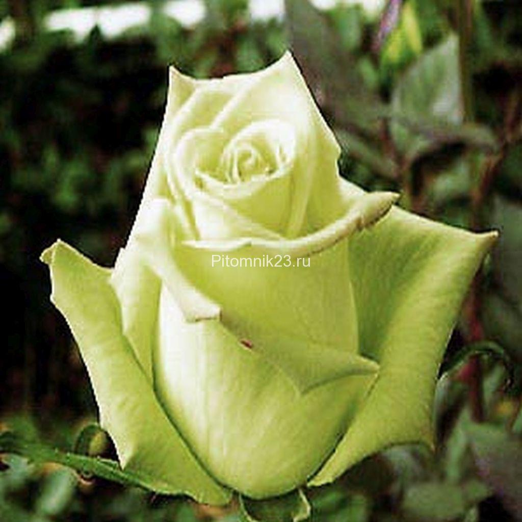 Саженцы чайно-гибридной розы Армандина (Amandine)