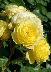 Саженцы роз Anny duperay (анни дюпрей)