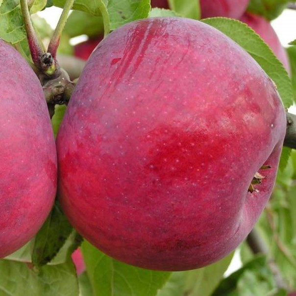 Саженцы яблони Антей