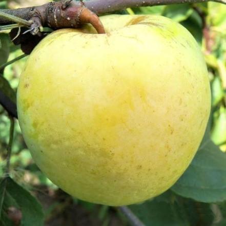 Саженцы яблони Антоновка