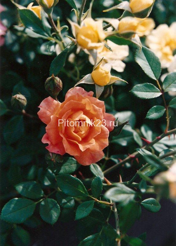 Саженцы миниатюрной розы Apricot Sunblaze (Эприкот Санблейз)