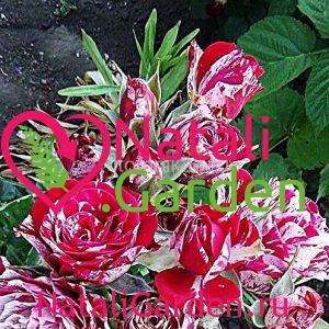 Саженцы розы Арроу Фолиес (Arrow Follies)