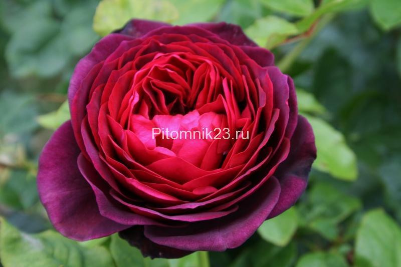 Саженцы чайно-гибридной розы Астрид Графин (AstridGrafin)