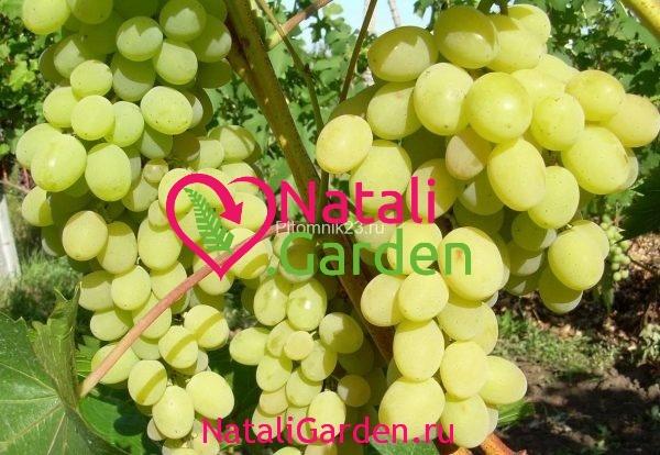 Саженцы винограда Августин