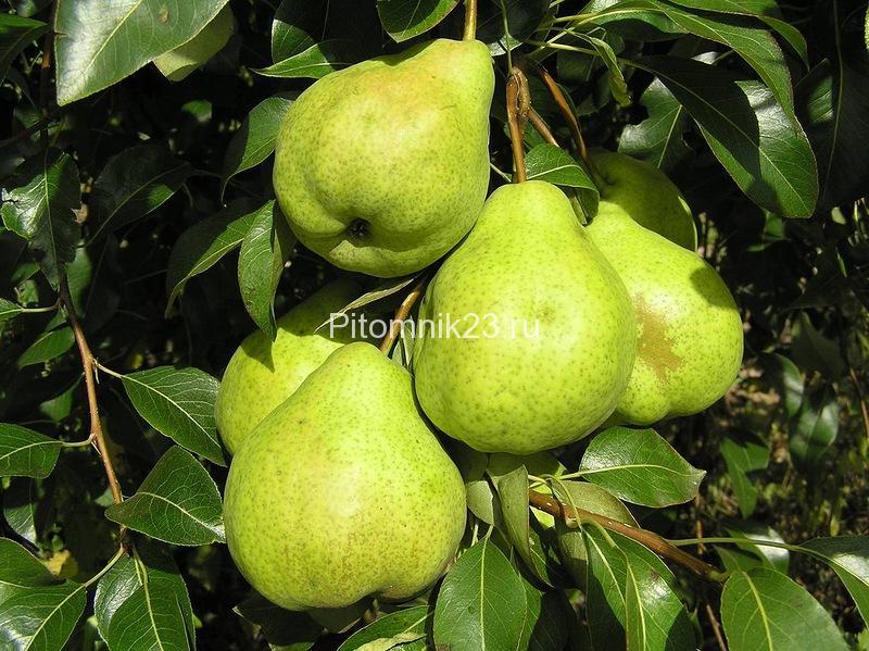 Саженцы груши Августовская роса