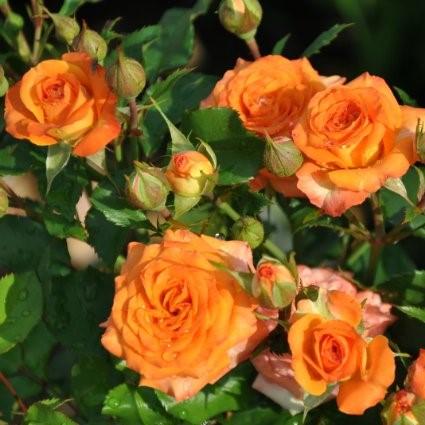 Саженцы роз Babe (Бейб)