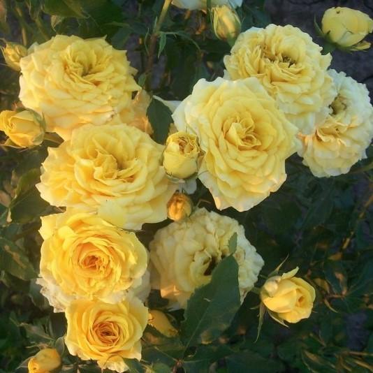 Саженцы роз Baby Gold (Бэби Голд)